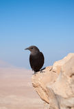 Tristram's starling Royalty Free Stock Image