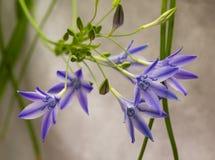 Triteleia de florescência foto de stock