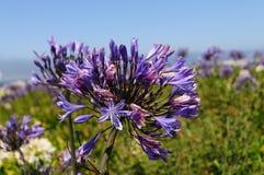 Triteleia laxa的领域 图库摄影