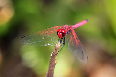Trithemis annulata Stock Photos