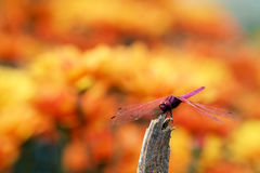 Trithemis aurora or crimson marsh glider dragonfly purple perched at branch Royalty Free Stock Image