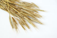 Triticale Royalty Free Stock Images