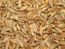 Triticale. Close up grain for background Royalty Free Stock Photography