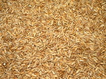 Triticale. Fodden triticale for background close up Stock Photo