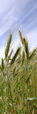 Triticale crop royalty free stock images