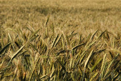 Triticale crop Stock Images