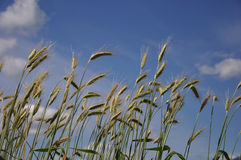 Triticale crop Stock Photography