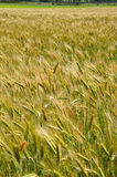Triticale crop Stock Image