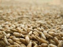 Triticale da colheita do cereal Fotografia de Stock