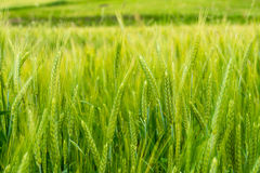 Triticale fields in the countryside Stock Photos
