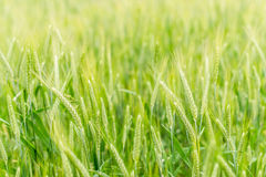 Triticale fields in the countryside (soft focus) Royalty Free Stock Image