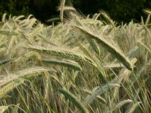 Triticale, Food Grain, Grass Family, Vegetation stock photos