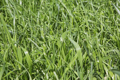 Triticale forage grass lawn Royalty Free Stock Photos