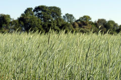 Triticale, a hybrid forage plant. ITATIBA, SP, BRAZIL - AUGUST 8, 2015 - Triticale, a hybrid forage plant, cross between wheat (Triticum) and rye (Secale Stock Photography