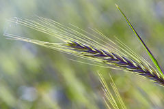 Triticale, a hybrid forage plant. ITATIBA, SP, BRAZIL - AUGUST 8, 2015 - Triticale, a hybrid forage plant, cross between wheat (Triticum) and rye (Secale Stock Images