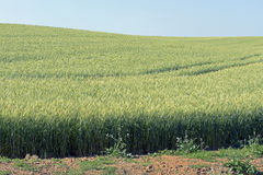 Triticale, a hybrid forage plant Royalty Free Stock Photos
