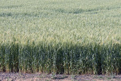 Triticale, a hybrid forage plant Royalty Free Stock Images