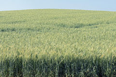Triticale, a hybrid forage plant Stock Photos