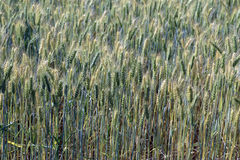 Triticale, a hybrid forage plant. SAO ROQUE, SP, BRAZIL - AUGUST 22, 2015 - Triticale, a hybrid forage plant, cross between wheat (Triticum) and rye (Secale Stock Photos