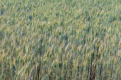 Triticale, a hybrid forage plant. SAO ROQUE, SP, BRAZIL - AUGUST 22, 2015 - Triticale, a hybrid forage plant, cross between wheat (Triticum) and rye (Secale Stock Photo
