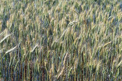 Triticale, a hybrid forage plant. SAO ROQUE, SP, BRAZIL - AUGUST 22, 2015 - Triticale, a hybrid forage plant, cross between wheat (Triticum) and rye (Secale Royalty Free Stock Photos