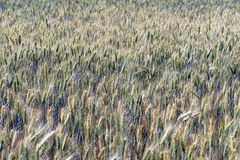 Triticale, a hybrid forage plant Royalty Free Stock Photography