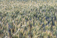 Triticale, a hybrid forage plant. SAO ROQUE, SP, BRAZIL - AUGUST 22, 2015 - Triticale, a hybrid forage plant, cross between wheat (Triticum) and rye (Secale Royalty Free Stock Image