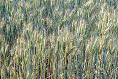 Triticale, a hybrid forage plant. SAO ROQUE, SP, BRAZIL - AUGUST 22, 2015 - Triticale, a hybrid forage plant, cross between wheat (Triticum) and rye (Secale Royalty Free Stock Photography