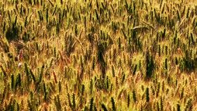 Triticale, a hybrid forage plant stock video footage