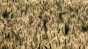 Triticale, a hybrid forage plant stock video