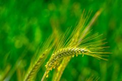 Triticale Plant On The Meadow Stock Photo
