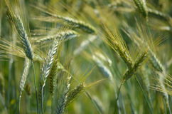 Triticale (Triticum x Secale) crops. A field of the crop plant Triticale or Triticosecale, an old hybrid of Wheat and Rye Stock Images