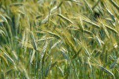 Triticale (Triticum x Secale) crops. A field of the crop plant Triticale or Triticosecale, an old hybrid of Wheat and Rye Stock Photo
