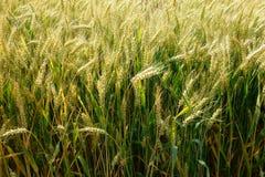 Triticum aestivum. Wheat in July Stock Photos