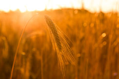 Triticum aestivum / Winter wheat  Royalty Free Stock Photo