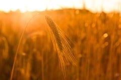 Triticum aestivum / Winter wheat  Royalty Free Stock Photo