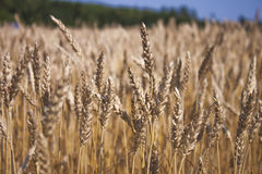 Triticum field. Finnish Triticum, wheat field, in the southern side of Finland Royalty Free Stock Photography