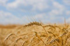 Triticum L de blé d'hiver d'épillets images stock