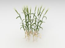 Triticum. Render illustration of the Different Plants and Grass Stock Photography