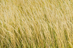 Triticum spelta. Spelt (Triticum spelta), also known as dinkel wheat, or hulled wheat Royalty Free Stock Photo