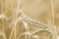 Triticum turgidum Rivet wheat Stock Photo