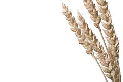 Triticum -Wheat Stock Photography