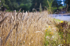 Triticum wheat field. At the finnish countryside Royalty Free Stock Image