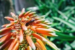Tritoma Flower And Orange Bug Royalty Free Stock Images