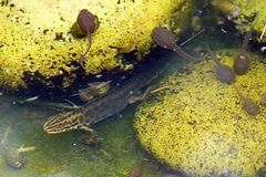 Triton commun et têtards dans un étang photo libre de droits