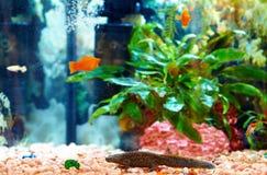 Triton d'Echinated dans l'aquarium coloré, waltl de Pleurodeles Image libre de droits
