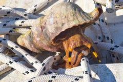 Triton-Overzeese Slak, zeldzame overzeese slak Stock Foto's