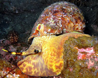 Triton-Schnecke La Palma Canary Islands Lizenzfreies Stockbild