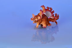 Triton Seashell with Reflection Stock Photo