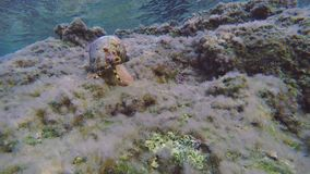 Mediterranean moray playing with triton snail underwater. Triton snail moving forward on rocky seabed and Mediterranean moray swims towards camera. sunlight stock footage
